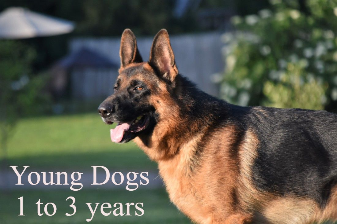 Blue Ridge Lane German Shepherds - Blue Ridge Lane German ...